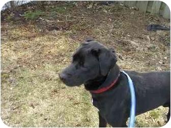 Labrador Retriever Mix Dog for adoption in Guelph, Ontario - Chance - PENDING (was Magee)