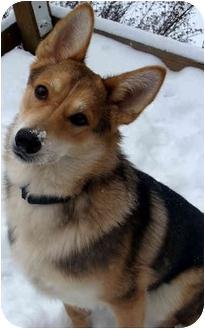 Siberian Husky/Shiba Inu Mix Dog for adoption in Rochester/Buffalo, New York - Tobie