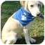 Photo 2 - Labrador Retriever Puppy for adoption in Pawling, New York - MOLLY