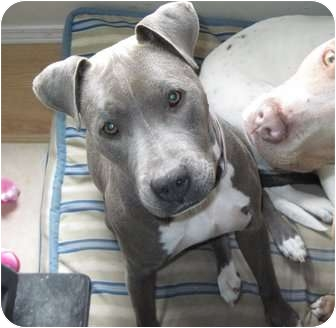 American Pit Bull Terrier Mix Dog for adoption in Portland, Oregon - Jasmine