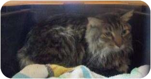 Domestic Longhair Cat for adoption in Galveston, Texas - Frank