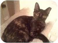 Calico Kitten for adoption in Tampa, Florida - Jane
