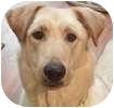 Labrador Retriever Mix Dog for adoption in Hamilton, Ontario - Buddy