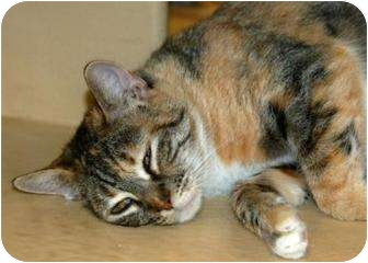Domestic Shorthair Cat for adoption in Houston, Texas - Carrie