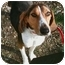 Photo 3 - Treeing Walker Coonhound Puppy for adoption in Cincinnati, Ohio - Caroline: 18 m, Loveland