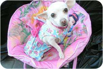 Chihuahua Mix Dog for adoption in Mission Viejo, California - DAISEY MAE