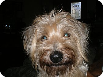 Yorkie, Yorkshire Terrier/Poodle (Miniature) Mix Dog for adoption in Apex, North Carolina - Wallace