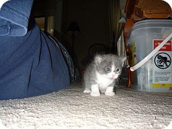 Domestic Mediumhair Kitten for adoption in Louisville, Kentucky - Gabby