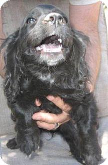 Cocker Spaniel/Dachshund Mix Puppy for adoption in Chandler, Arizona - Shelby