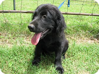 Cocker Spaniel/Labrador Retriever Mix Puppy for adoption in Bedminster, New Jersey - Yvonne