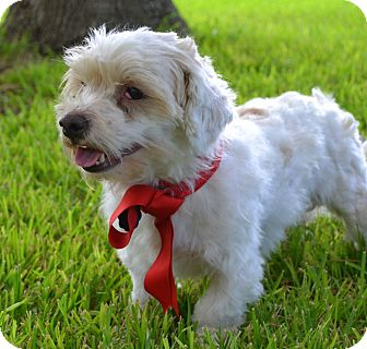 Maltese/Poodle (Toy or Tea Cup) Mix Dog for adoption in Austin, Texas - Ceaser in Austin