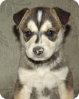 Husky/Alaskan Malamute Mix Puppy for adoption in Phoenix, Arizona - Zorro