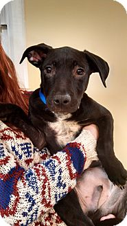 German Shepherd Dog/Bulldog Mix Puppy for adoption in Harrisonburg, Virginia - Zeus (Reduced Adoption Fee)