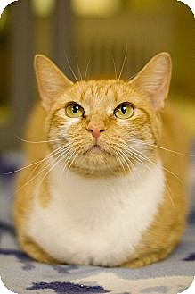 Domestic Shorthair Cat for adoption in Grayslake, Illinois - Mimosa