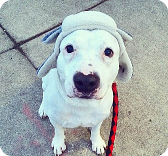 American Bulldog Mix Dog for adoption in Oak Park, Illinois - Mr. Belvedere