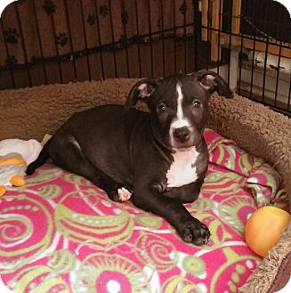 American Pit Bull Terrier/American Staffordshire Terrier Mix Puppy for adoption in Eastpointe, Michigan - Dez