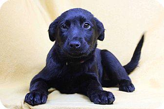 Labrador Retriever/Catahoula Leopard Dog Mix Puppy for adoption in Westminster, Colorado - Nadia