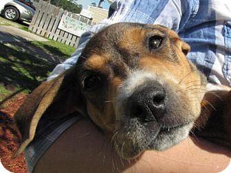 Labrador Retriever/Hound (Unknown Type) Mix Puppy for adoption in Port St. Joe, Florida - Hallie