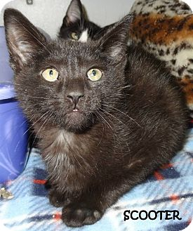Domestic Shorthair Cat for adoption in Lapeer, Michigan - SCOOTER--SWEET & FLUFFY!