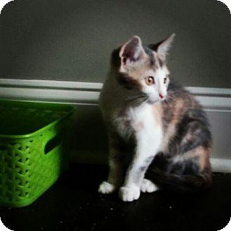 Domestic Shorthair Kitten for adoption in Homewood, Alabama - Honey Lemon