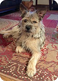 Cairn Terrier Mix Dog for adoption in Wichita, Kansas - Lily