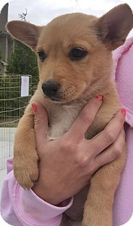 Corgi/Shiba Inu Mix Puppy for adoption in Powder Springs, Georgia - Maple