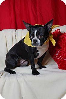 Boston Terrier Dog for adoption in Libertyville, Illinois - Oz