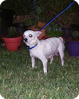 Chihuahua Dog for adoption in Houston, Texas - CRYSTAL