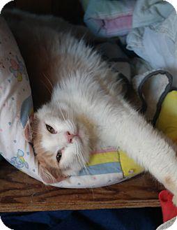 Domestic Shorthair Cat for adoption in San Pablo, California - PEACHY