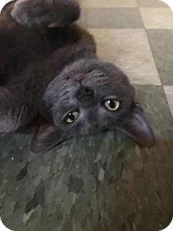 Russian Blue Cat for adoption in Corona, California - SASHA