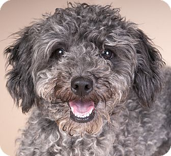 Poodle (Miniature) Dog for adoption in Chicago, Illinois - Poppy