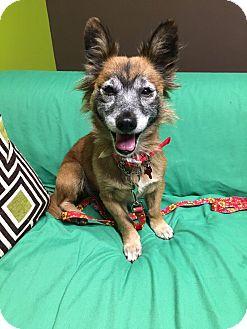 Corgi Mix Dog for adoption in Van Nuys, California - Angelica