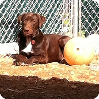 Labrador Retriever Mix Dog for adoption in Huntsville, Alabama - Nike