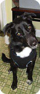 German Shepherd Dog Mix Dog for adoption in New Oxford, Pennsylvania - Nico