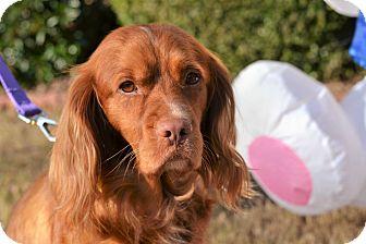 Cocker Spaniel Dog for adoption in Acworth, Georgia - Jayden