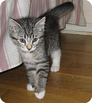 Domestic Shorthair Cat for adoption in Walnutport, Pennsylvania - Blue