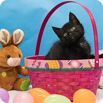 Domestic Shorthair Kitten for adoption in Houston, Texas - Sprout