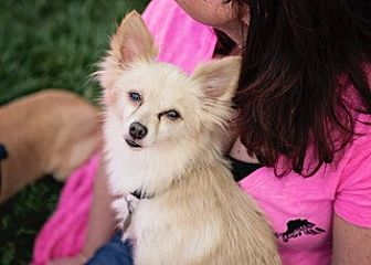 Pomeranian/Chihuahua Mix Dog for adoption in Rancho Cucamonga, California - MICKEY