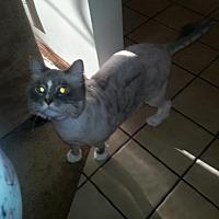 Adopt A Pet :: OH - Sweet Pea (CP) - Lambertville, MI
