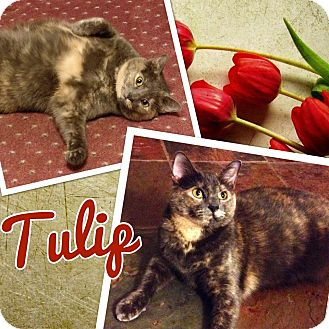Domestic Shorthair Cat for adoption in Keller, Texas - Tulip