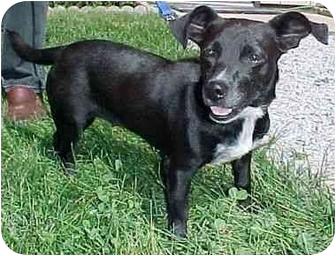 Deerhound/Terrier (Unknown Type, Medium) Mix Dog for adoption in North Judson, Indiana - Glory