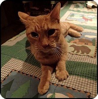 Domestic Shorthair Cat for adoption in Colorado Springs, Colorado - Marmalade