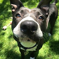 Adopt A Pet :: Gouda - Chicago, IL