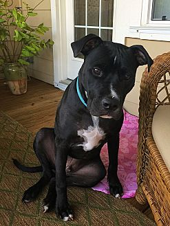 Bull Terrier/Boxer Mix Puppy for adoption in Mount Pleasant, South Carolina - Ollie