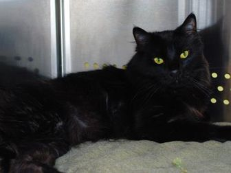 Domestic Longhair/Domestic Shorthair Mix Cat for adoption in Hayden, Idaho - Miles 870573