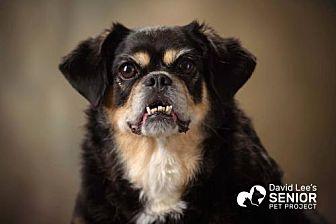 Pug/Pekingese Mix Dog for adoption in Rocky Mount, Virginia - Romona