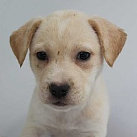 Adopt A Pet :: Whiskey - Sassey's Puppy - Clear Lake, IA