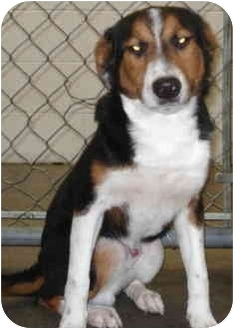 Beagle/Collie Mix Dog for adoption in Jacksonville, Arkansas - Wally
