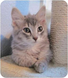 Maine Coon Kitten for adoption in Davis, California - Grayson