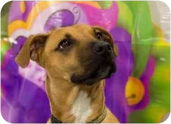 Rhodesian Ridgeback/Boxer Mix Puppy for adoption in Cincinnati, Ohio - Drake: in Covedale
